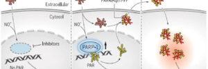 ポリ(ADPリボース)はパーキンソン病におけるα-シヌクレイン病理を誘導する