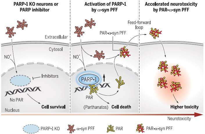 シヌクレインとPARP1