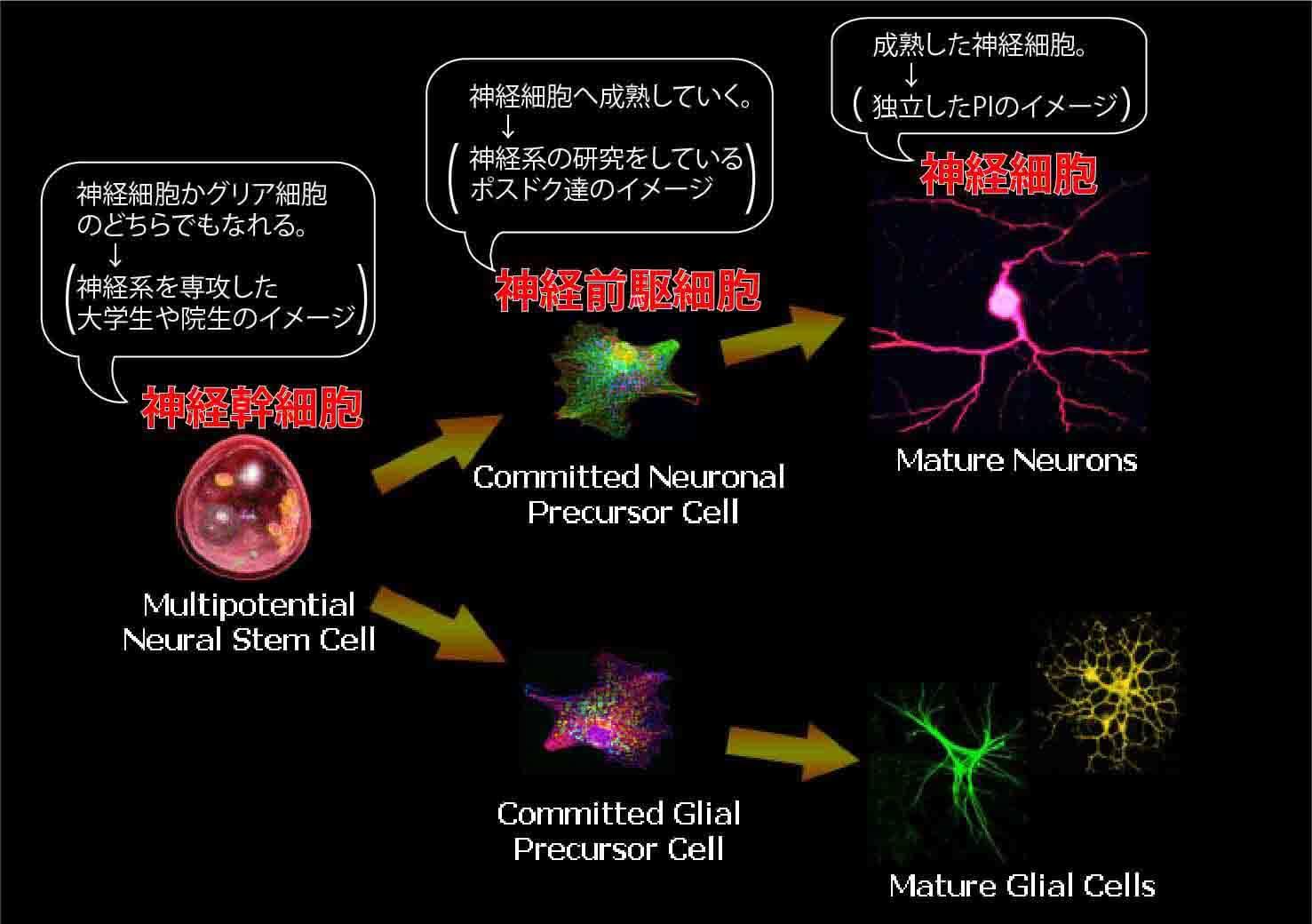神経細胞の分化
