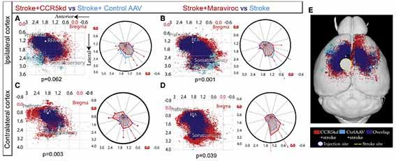 脳対側への軸索投射の変化