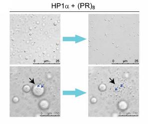HP1αの液‐液相分離