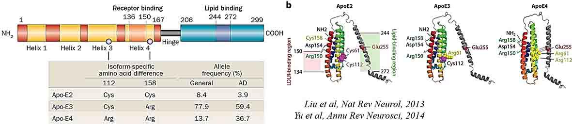 APOE2, APOE3, APOE4の構造の違い