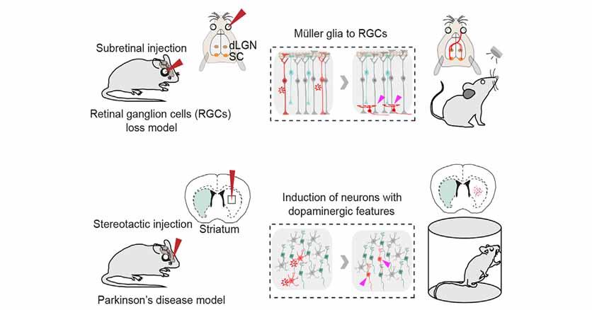 グリアをニューロンに変えて病気を治す