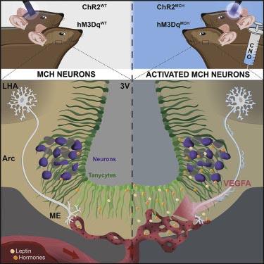 MCH神経は正中隆起バリアの透過性を調節する