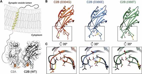 シナプトタグミン1関連神経発達障害のメカニズムを解明