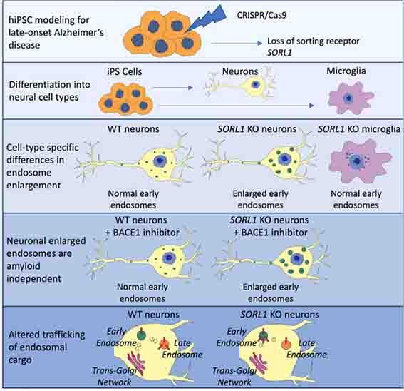 SORL1欠失ニューロンでは初期エンドソームが膨らむ