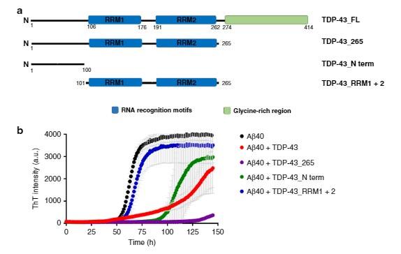 TDP43のAβ凝集阻害作用