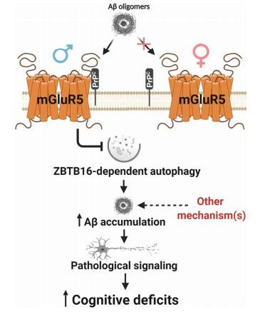 Aβ オリゴマーがmGluR5に結合するのは、男性だけ?