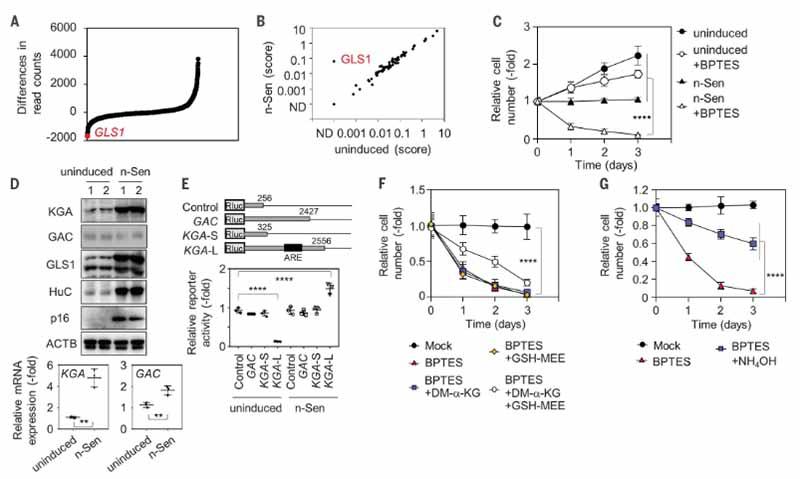 老化細胞とGLS1