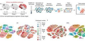 アルツハイマー病で特に障害されやすい細胞の共通点:RORB