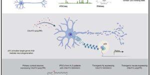 C9orf72ポリPRは、p53の転写調節を介して神経障害を誘導する