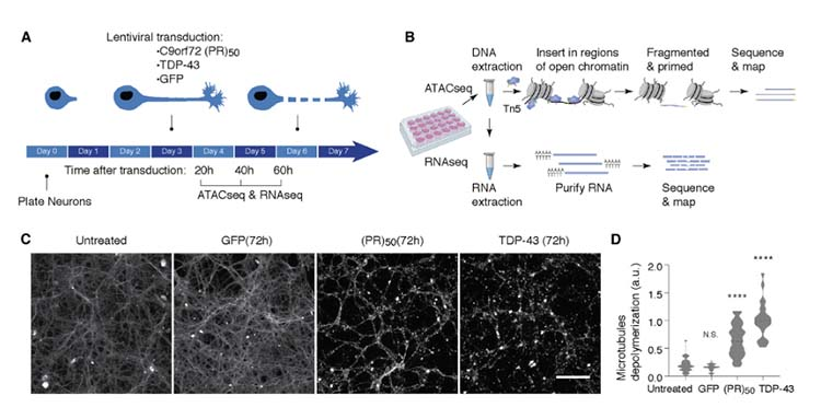 p53 is a central regulator driving neurodegeneration caused by C9orf72 poly(PR) img1