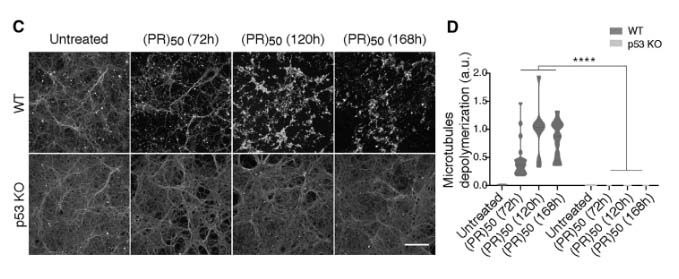 p53 is a central regulator driving neurodegeneration caused by C9orf72 poly(PR) img4