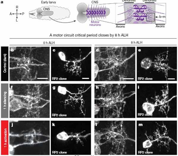 Astrocytes img1