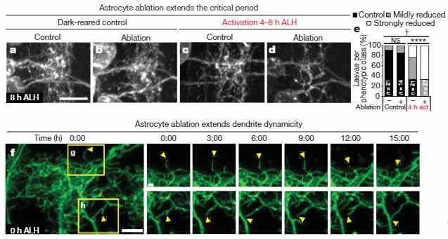 Astrocytes img2
