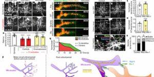 アストロサイトが運動神経回路形成のゴールデンタイムを決める
