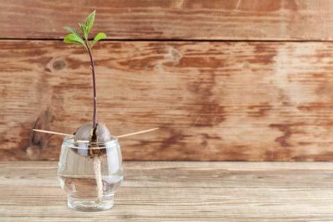 アボカドの水生栽培
