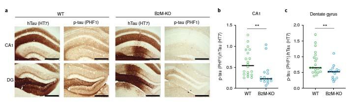 nat-neurosci-neuronal-apoe-mhcI-4
