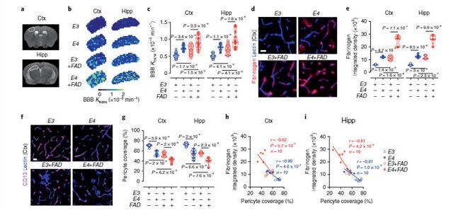 APOE4は進行期ADでCypAを介して血管障害を起こすが、そのメカニズムはAβ非依存的