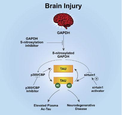 タウのアセチル化を抑制すると、外傷性神経変性を抑制できる