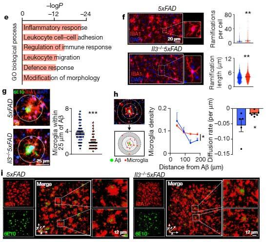 astrocytic-IL3-microglia-AD-5