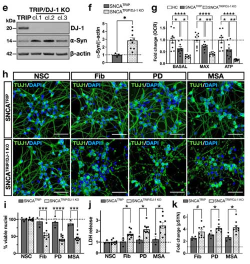 DJ-1 KO のα-Syn凝集体形成細胞への影響