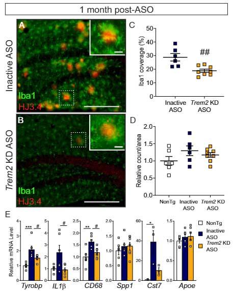 Trem2 KD ASO のミクログリアのプロファイルへの影響