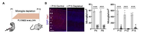 GABA-microglia-1