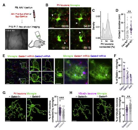 GABA-microglia-4