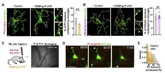 GABA-microglia-5