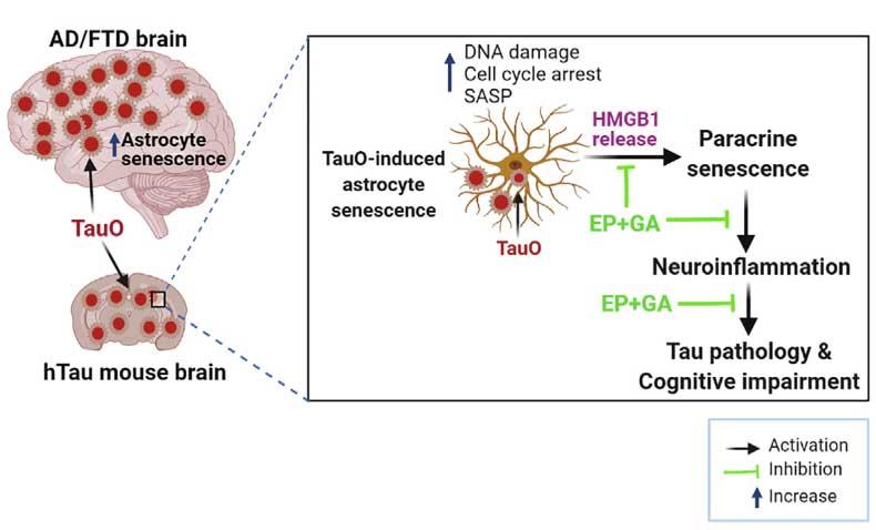 cell-rep-2021-tau-HMGB1-senescence-eyecatch