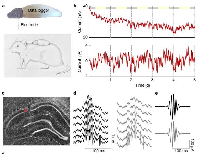 海馬のリップル波は血糖値を調節する?