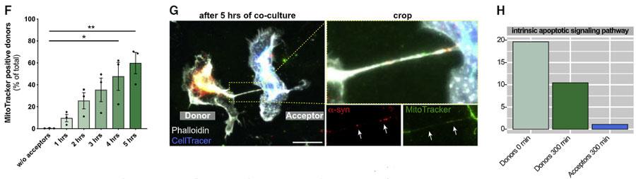 microglia-asyn-nanotube-15