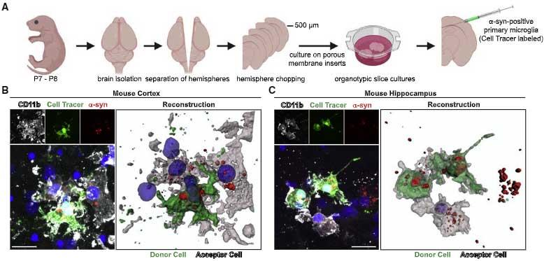 microglia-asyn-nanotube-17