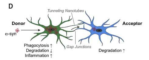microglia-asyn-nanotube-6