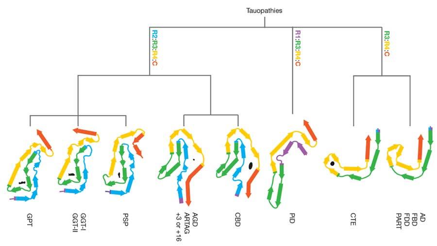 タウフィラメントの構造でタウオパチーを分類する